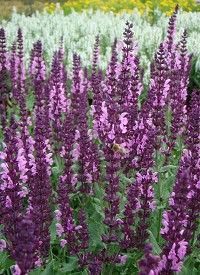 Salvia nemorosa 'Sensation Compact Bright Rose'