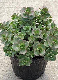 Sedum SunSparkler 'Lime Zinger'
