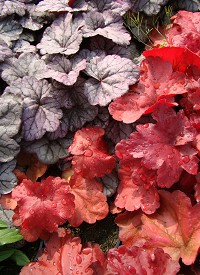 Heuchera 'Fire Alarm'