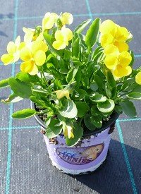 Viola cornuta Ice Babies F1 'Golden Yellow'