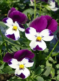 Viola cornuta Ice Babies F1 'White Purple Wing'