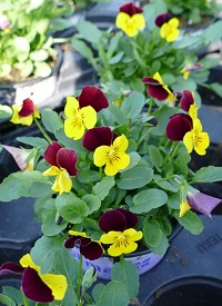 Viola cornuta Ice Babies F1 'Yellow Purple Wing'