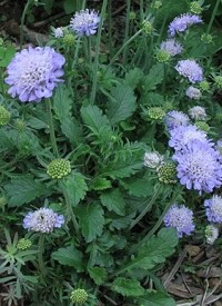 Scabiosa columbaria 'Butterfly Blue'
