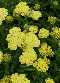 Achillea millefolium 'Desert Eve Light Yellow'