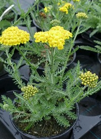 Achillea millefolium 'Little Moonshine'