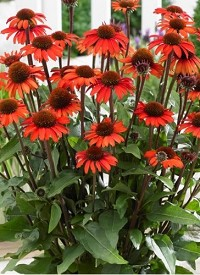 Echinacea purpurea 'SunSeekers Orange'
