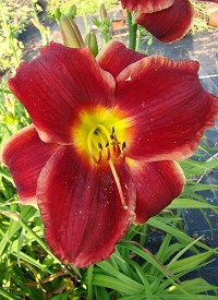 Hemerocallis 'Royalty Surprise'