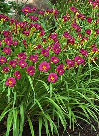 Hemerocallis 'Ruby Stella'