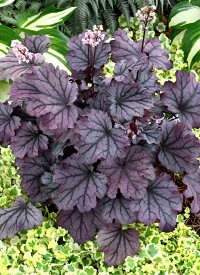 Heuchera 'Little Cutie Sugar Berry'
