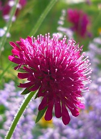 Knautia macedonica 'Red Knight' (Scabiosa rumelica)