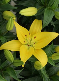 Lilium 'Happy Sun'