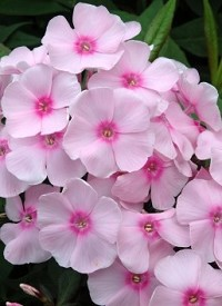 Phlox paniculata 'Sweet Summer Sensation'
