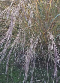 Schizachyrium scoparium 'Wildwest' (Andropogon)