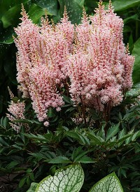 Astilbe 'Look at Me'