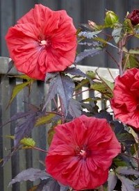Hibiscus moscheutos 'Carousel Red Wine'
