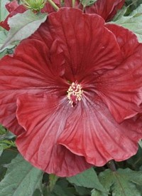 Hibiscus moscheutos 'Cranberry Crush'