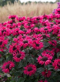 Monarda 'Bee-Happy'