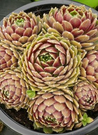Sempervivum 'Alpha'