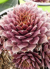 Sempervivum 'Purple Passion'