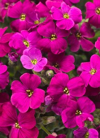 Aubrieta 'Audrey Red'