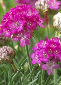 Armeria maritima 'Abbey Deep Rose'