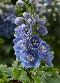 Delphinium 'Delphina Light Blue White Bee'