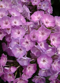 Phlox paniculata 'Famous Light Purple'