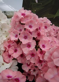 Phlox paniculata 'Famous Pink with Eye'