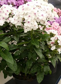 Phlox paniculata 'Famous White with Eye'