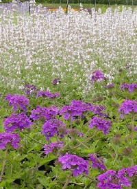 Verbena canadensis 'Homestead Purple'