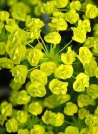 Euphorbia cyparissias 'Tall Boy'