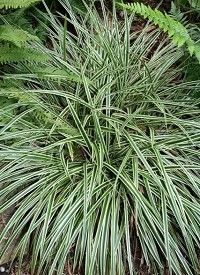 Carex morrowii 'Gold Band'
