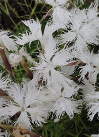 Dianthus 'Berlin Snow'