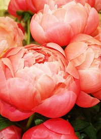 Paeonia 'Coral Charm'