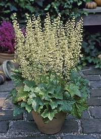 Heuchera villosa 'Chantilly'