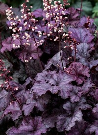 Heuchera 'Rex Purple'