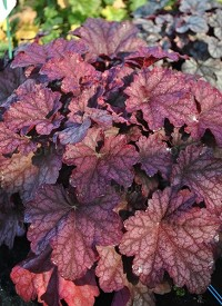 Heuchera 'World Caffé Shakerato'