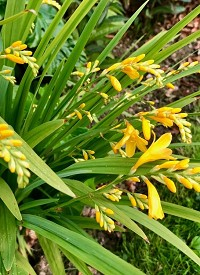 Crocosmia 'Buttercup'