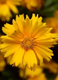 Coreopsis grandiflora 'Corey Single Gold'