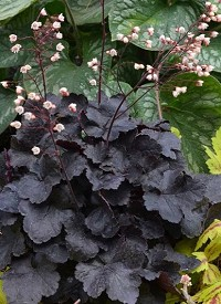 Heuchera 'Little Cutie Coco'