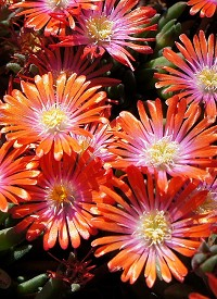 Delosperma 'Jewel of Desert Sunstone'