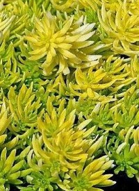 Sedum 'Winter Lemon'
