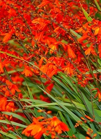 Crocosmia 'Fire King'