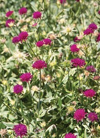Knautia macedonica 'Thunder and Lighting'