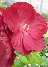 Hibiscus moscheutos 'Robert Fleming'