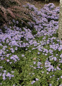Aster 'Wood's Light Blue'