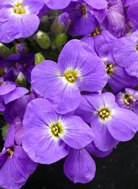 Aubrieta gracilis 'Florado Blue Eye'