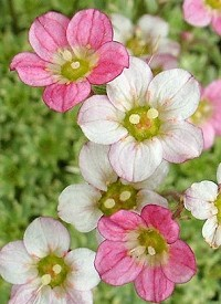 Saxifraga 'Silver Cushion'