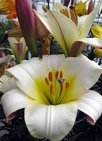 Lilium regale 'White Planet'