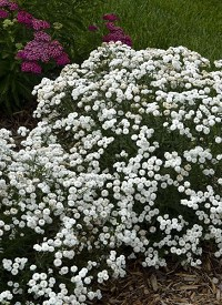Achillea ptarmica 'Peter Cottontail'